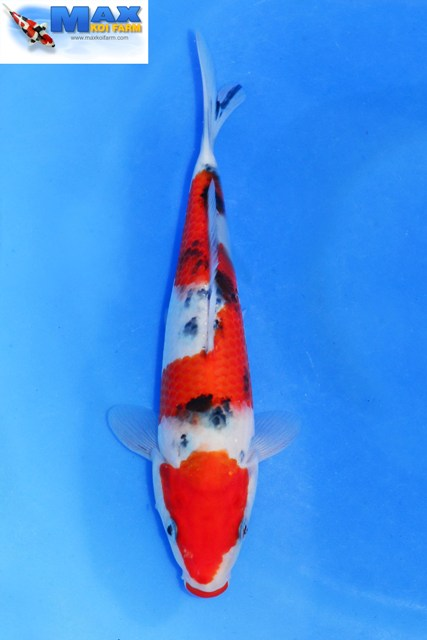 Welcome to Max Koi Farm - The Serious Reference Site For Koi